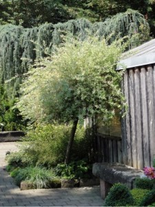 Salix integra 'Hakuro Nishiki', Harlekinweide