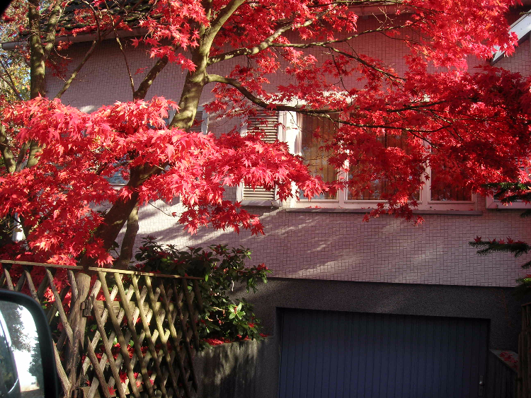 Herbstlaub eines Japanischen Ahorns