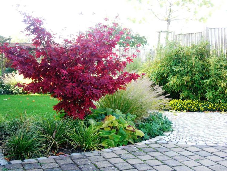 Japanischer Ahorn, Acer palmatum Osakazuki in Herbstfärbung