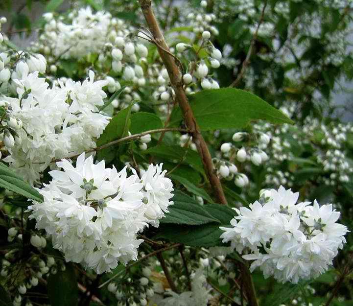 Pfeiffenstrauch Deutzia Candidissima