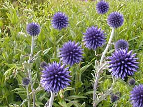 Echinops ritro  Veitchs Blue