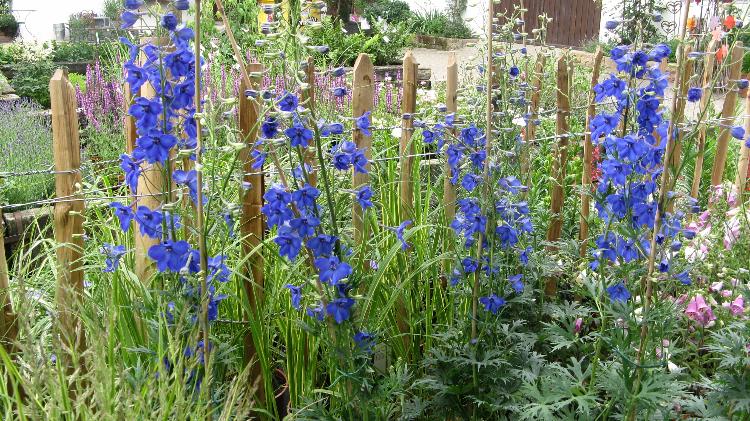 Blauer Rittersporn im Bauerngarten