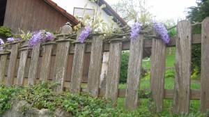 Blauregen am Holz-Gartenzaun