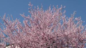 Rosa blühender Süssmandelbaum vor strahlend blauen Märzhimmel