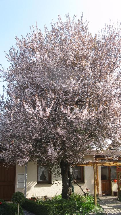 Prunus cerasifera in voller Blüte