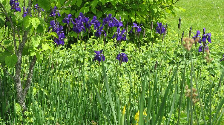 Blauer Hingucker am Teichrand Iris sibirica