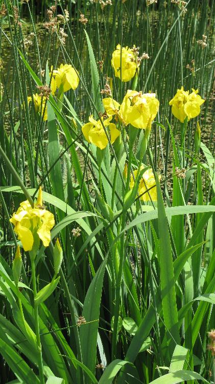 Iris pseudacorus - Gelbe Sumpf-Schwertlilie