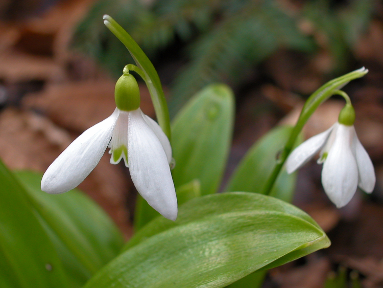Galanthus woronwii mirsk