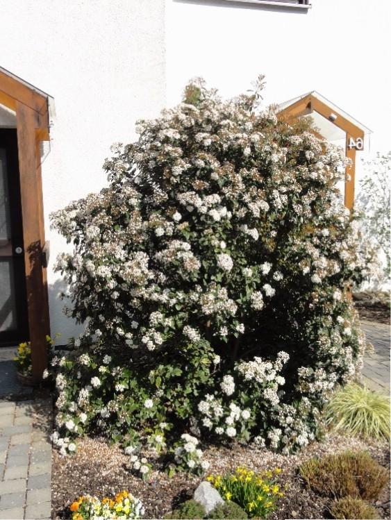 Viburnum tinus blühend
