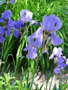 Iris barbata, blau
