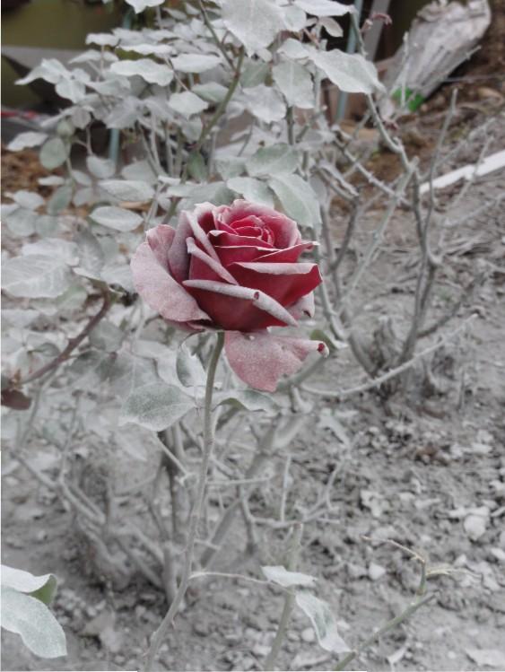 Rosenzauber im Eis? Steinmehl vom Schnitt der Granitstelen legt der Rose einen Mantel um.