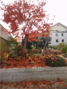 Japan-Ahorn zeigt Farbe. Gartengestaltung mit Farbe und Form, die das ganze Jahr wirkt.