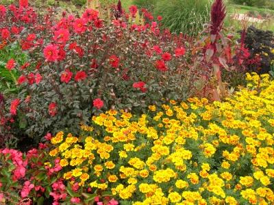 Rote Beetrosen und gelbe Einjahres Blumen