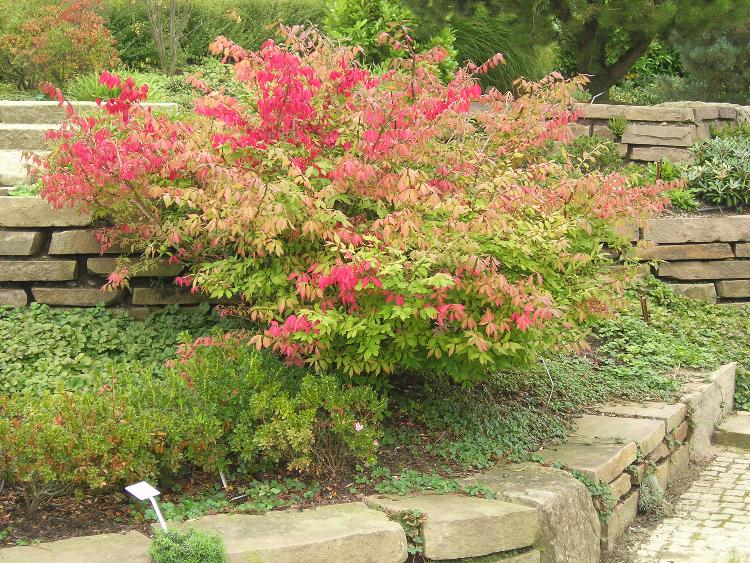 Herbstfärbung von Euonymus alatus 'Compactus'
