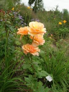 Gelbe Rosen Solitär im Beet
