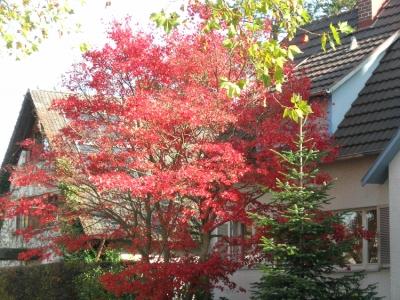 Acer palmatum in Kirchzarten-