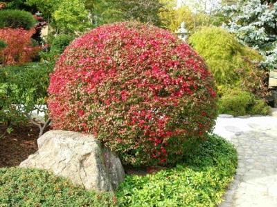 Euonymus alatus 'Compactus' im Form-schnitt und Herbstfärbung
