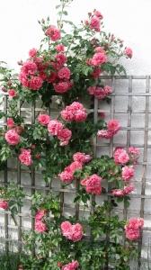 Garten gestalten mit Rosen und Spalier. Kletterrose Rosarium Utersen