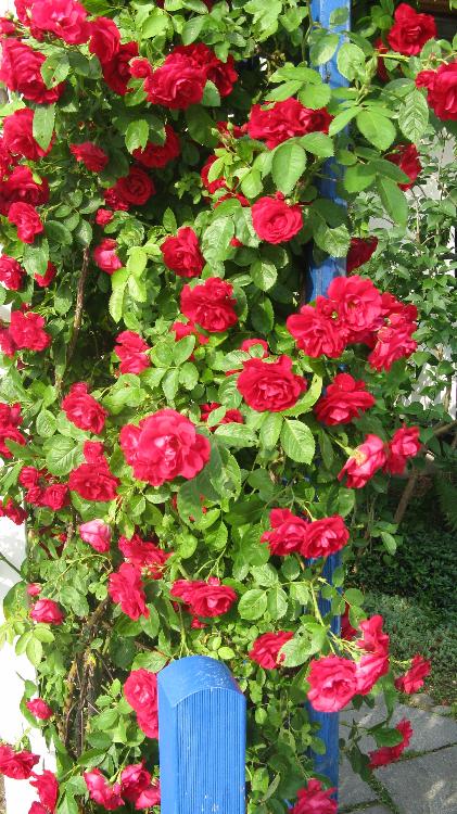 Rote Kletterrose am Gartentor