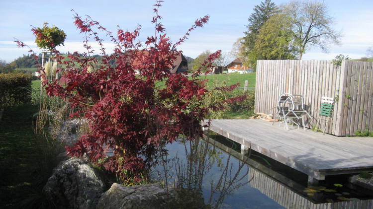 Japanischer Ahorn mit roter Herbstfärbung. Holzdeck und schöner Teich in St. Peter