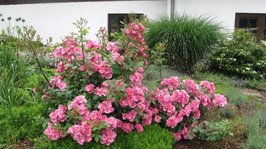 Pinke Bodendeckerrose