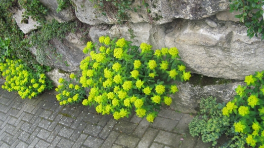 Blühende Wolfsmilch in den Ritzen  der Gartenmauer