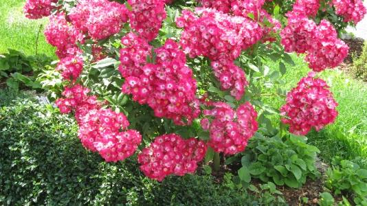 Pinke Hochstammrose